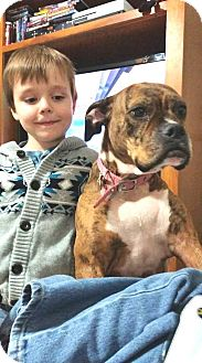 Boxer Dog for adoption in Turnersville, New Jersey - Luna-1-14-17new pic