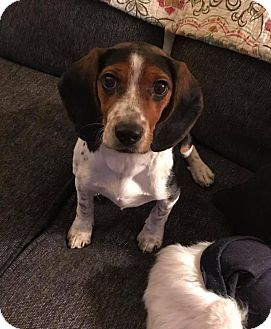 Beagle Mix Puppy for adoption in Chicago, Illinois - Sherin