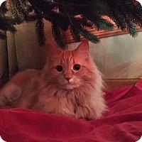 Adopt A Pet :: Pumpkin (Courtesy Post) - Middleton, WI