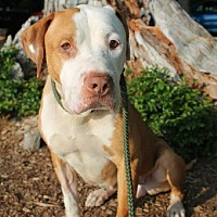 Adopt A Pet :: Stella - Whitestone, NY