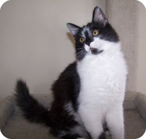 Maine Coon Kitten for adoption in Colorado Springs, Colorado - K-MaryG2-Boris