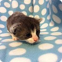 Adopt A Pet :: Lysander - Union, KY