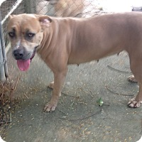 Labrador Retriever/Pit Bull Terrier Mix Dog for adoption in Key Biscayne, Florida - Marquesa