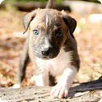 Adopt A Pet :: Dasher - Austin, TX