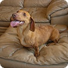 Adopt A Pet :: Luke (JW-POM)