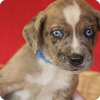 Adopt A Pet :: Blitzen - Waldorf, MD