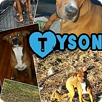 Adopt A Pet :: Tyson meet me 1/8 - East Hartford, CT