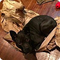 Adopt A Pet :: Cindy Lou - Washington, DC