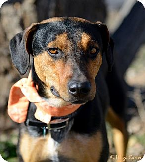 Doberman Pinscher/Australian Cattle Dog Mix Dog for adoption in Corrales, New Mexico - Burt