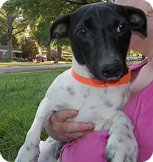 Feist Mix Dog for adoption in Memphis, Tennessee - Heckle