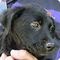 Adopt A Pet :: Kimber - Germantown, MD