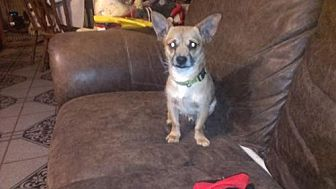 Terrier (Unknown Type, Medium)/Dachshund Mix Dog for adoption in Pipe Creek, Texas - Clyde