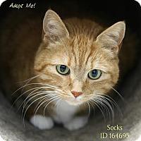 Adopt A Pet :: Socks - Camden, DE
