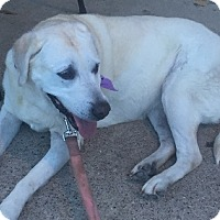 Labrador Retriever Dog for adoption in Austin, Texas - Miss Lucy