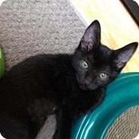 Adopt A Pet :: Bela - Burbank, CA