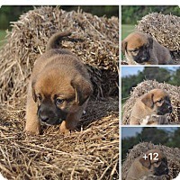Labrador Retriever Mix Puppy for adoption in Hagerstown, Maryland - Audra (adopted)