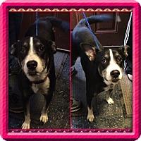 Adopt A Pet :: Peyton - Baltimore, MD