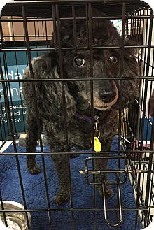 Poodle (Miniature) Mix Dog for adoption in Tucson, Arizona - Charley