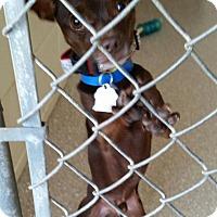 Adopt A Pet :: Chocolate Thunder - Encinitas, CA