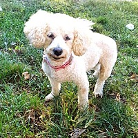Poodle (Miniature) Dog for adoption in Elizabethtown, Pennsylvania - Misty
