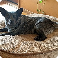 Blue Heeler Mix Dog for adoption in Vista, California - Foxy