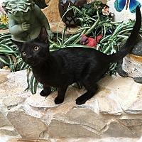 Sphynx Kitten for adoption in Sarasota, Florida - Petey