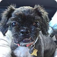 Shih Tzu Mix Dog for adoption in New York, New York - Sugar Plum