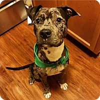 Adopt A Pet :: Jameson - Brooklyn, NY