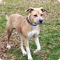 Adopt A Pet :: PUPPY ROXY - Andover, CT