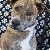 Adopt A Pet :: Opie - Yucaipa, CA