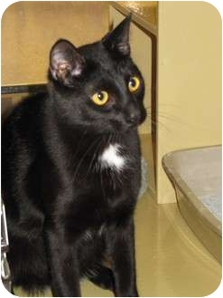 Domestic Shorthair Cat for adoption in Modesto, California - Junior
