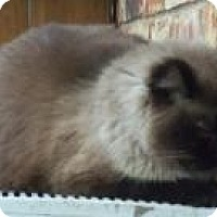 Adopt A Pet :: Chai - Ennis, TX