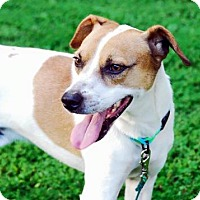 Jack Russell Terrier Mix Dog for adoption in Columbia, Tennessee - Rebel/KY