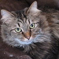 Domestic Longhair Cat for adoption in Harrisburg, North Carolina - Ava