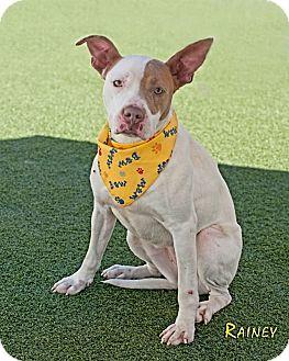 Bull Terrier Mix Dog for adoption in Salisbury, North Carolina - Rainey