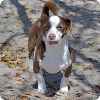 Adopt A Pet :: Dino - Tavares, FL
