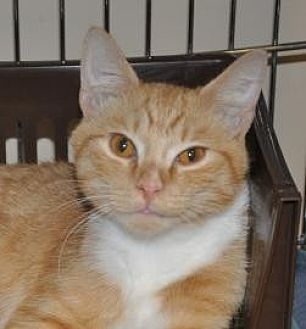 Domestic Shorthair Kitten for adoption in Pompano Beach, Florida - Simba