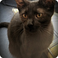 Siamese Kitten for adoption in Fairborn, Ohio - Irene