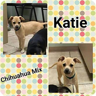 Chihuahua Mix Puppy for adoption in Harrisburg, North Carolina - Katie