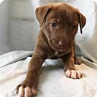 Adopt A Pet :: Cisco - Georgetown, SC