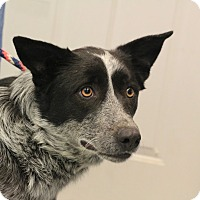 Australian Cattle Dog Mix Dog for adoption in Martinsville, Indiana - Daisy