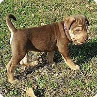 Adopt A Pet :: Noel - Southbury, CT