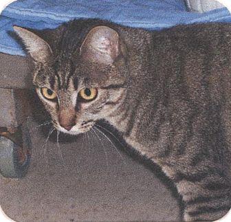 Domestic Shorthair Cat for adoption in El Cajon, California - Maggie
