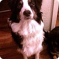 Adopt A Pet :: Dixie purebred Urgent - Sacramento, CA