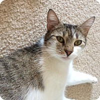 Domestic Shorthair Cat for adoption in O'Fallon, Missouri - Whitney