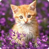 Adopt A Pet :: Pluto - Brockton, MA