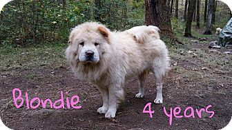 Chow Chow Dog for adoption in Dix Hills, New York - BLONDIE