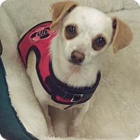 Chihuahua Mix Dog for adoption in Aqua Dulce, California - Chikita