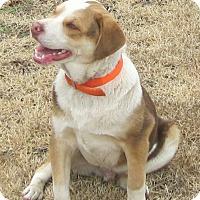 Adopt A Pet :: Herman  reduced fee! (pom-cr) - Plainfield, CT