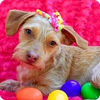 Adopt A Pet :: Rippa - Irvine, CA